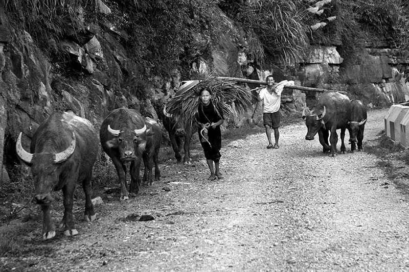 End of the day. Bringing home the water buffalo.