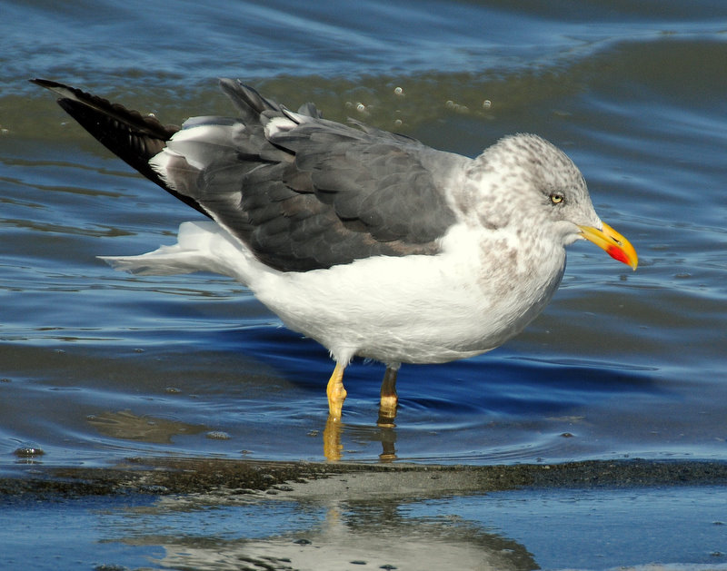 Gull, Lesser Black-backed