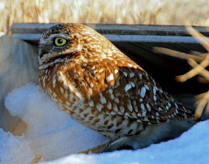 Owl, Burrowing