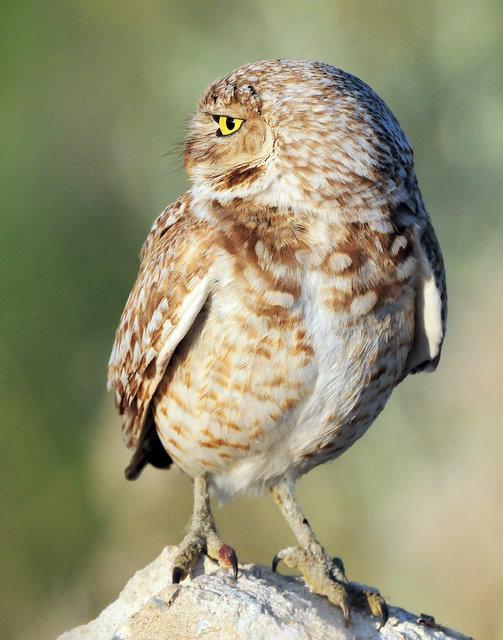 Owl Burrowing D-072.jpg