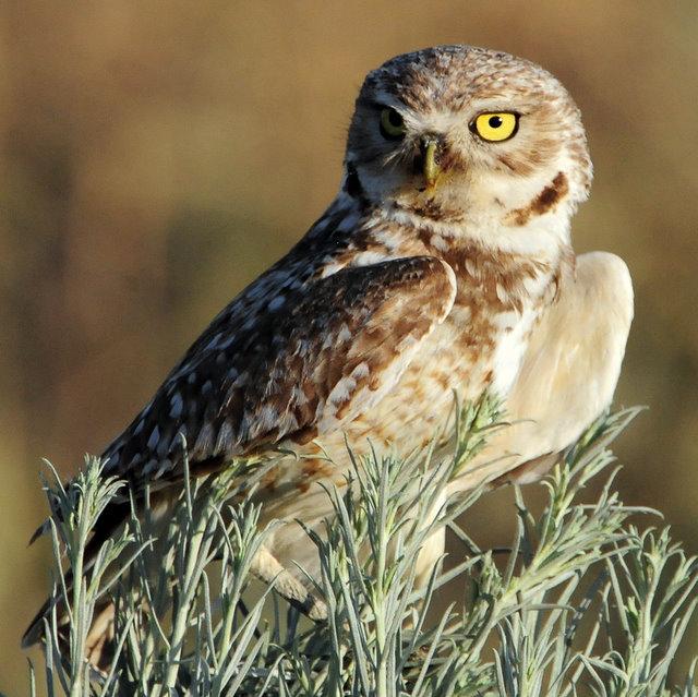 Owl Burrowing D-083.jpg