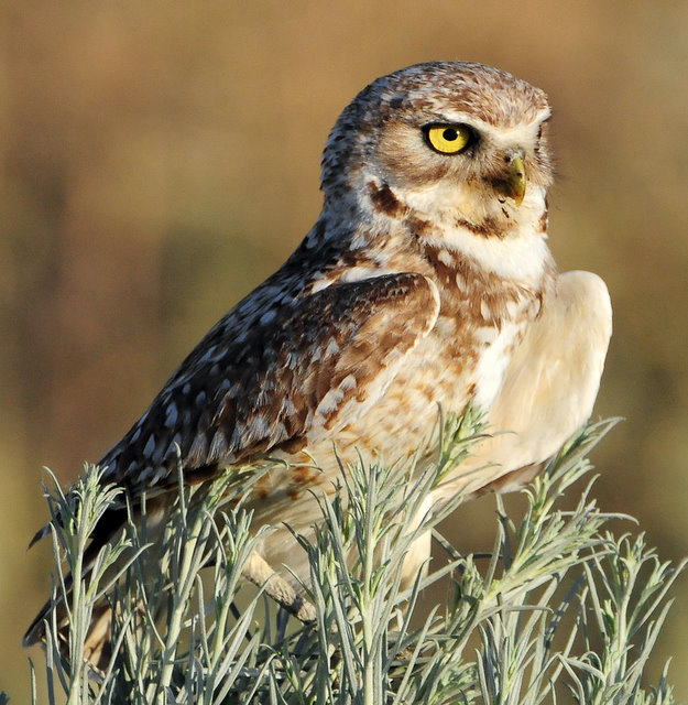 Owl Burrowing D-084.jpg
