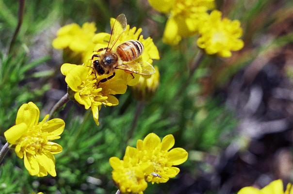 Honeybee on goldenweed, Haplopappus sp.