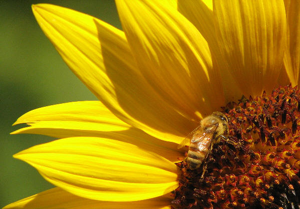 Honey Bee on Sunflower_5
