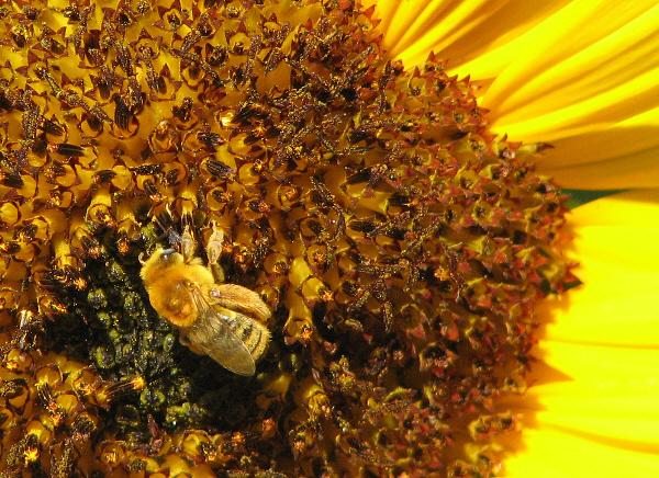 Honey Bee on Sunflower_1