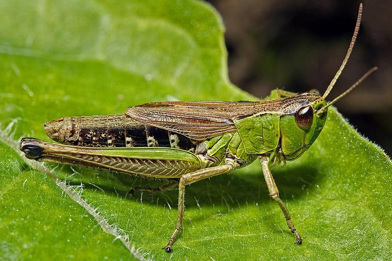 Bộ sưu tập Côn trùng - Page 7 91367590.CaLrWTGZ.grasshopper