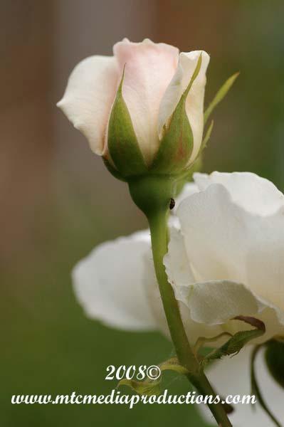rose166.jpg