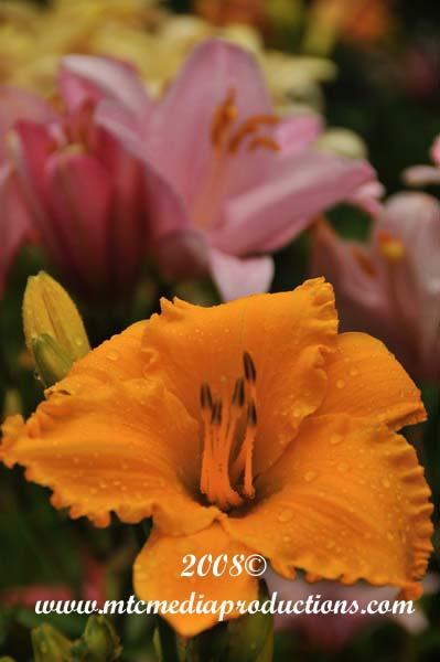 daylily338.jpg