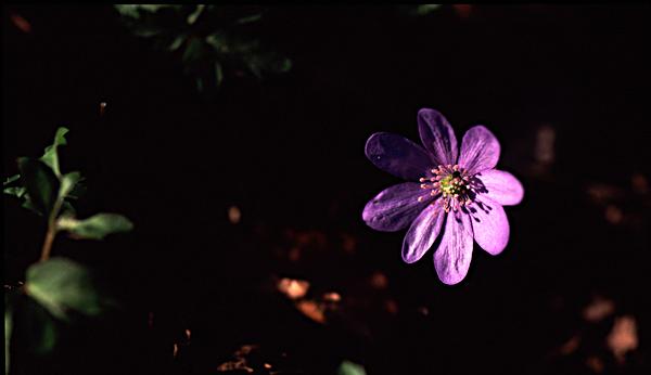 Blå anemone.jpg