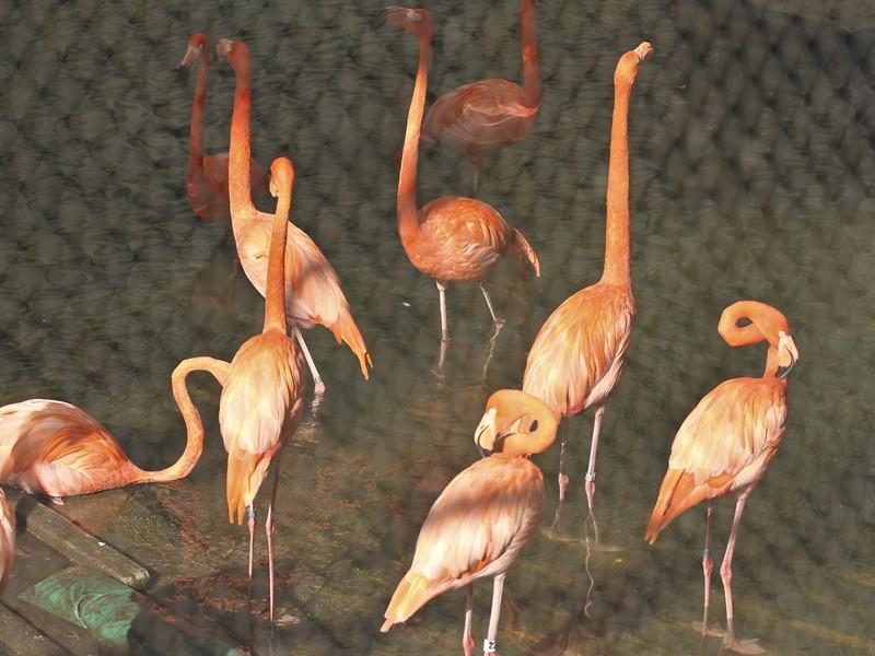 American flamingoes