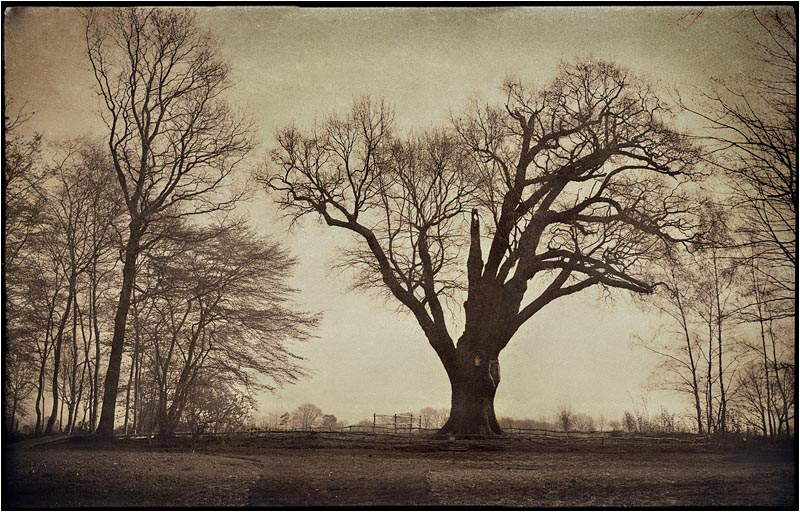 The 1000 year old Oak