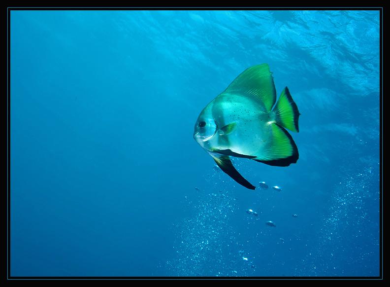 Spadefish Take Two