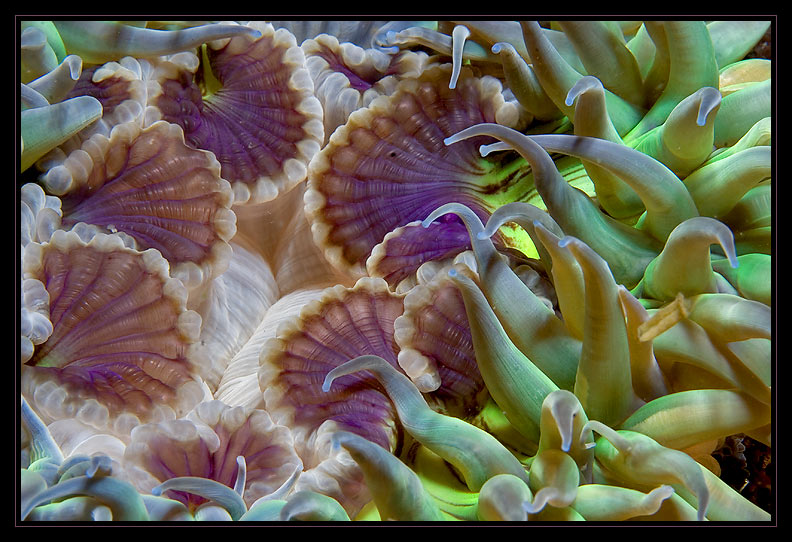 Green Anemone with a dab of purple