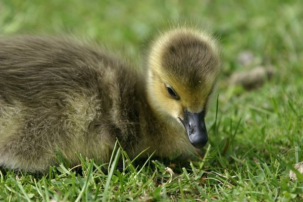 Bernacle Goose (Branta leucopsis).Gosling