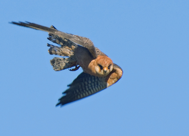 Red-footed Falcon, female (Aftonfalk)