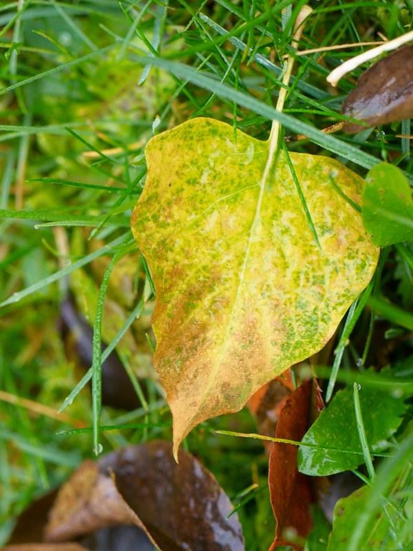 2010-11-13 Fallen leaf