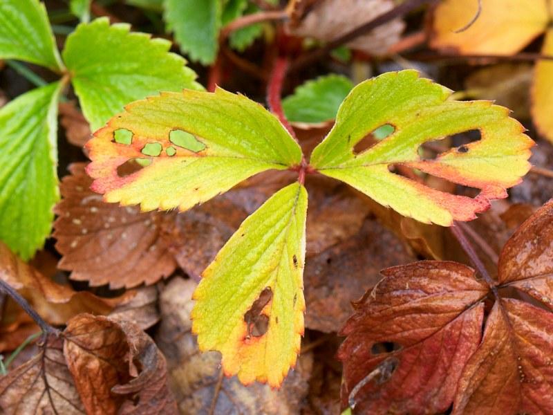 2010-11-14 Strawberry leafs