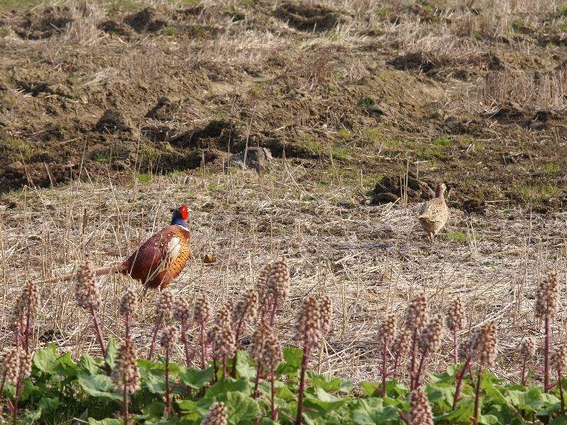 2011-04-20 Common Pheasant - Phasianus colchicus