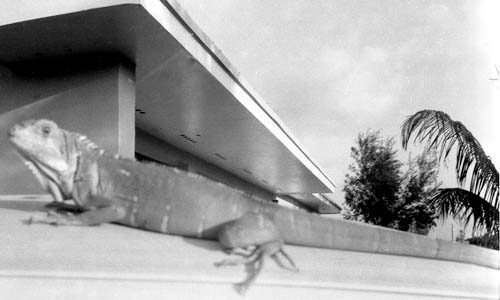 One of my three pet iguanas in 1962