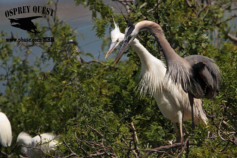 _MG_5837 Great White Heron and Great Blue Heron breeding pair.jpg