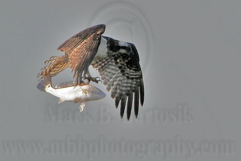 _MG_9726 Osprey.jpg