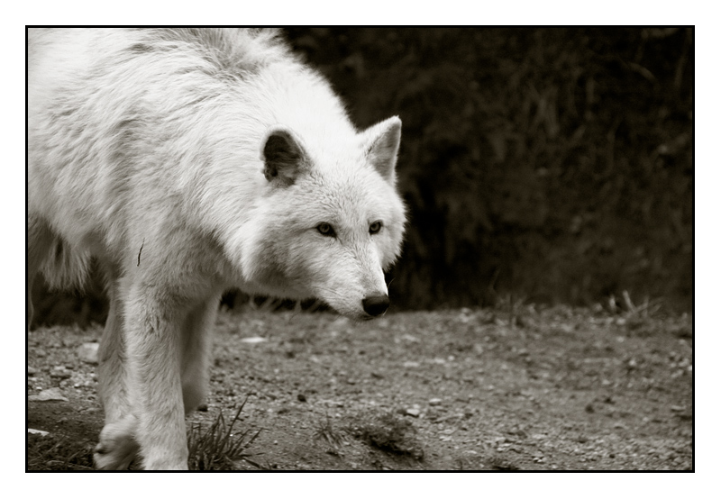 Wolf At Grouse