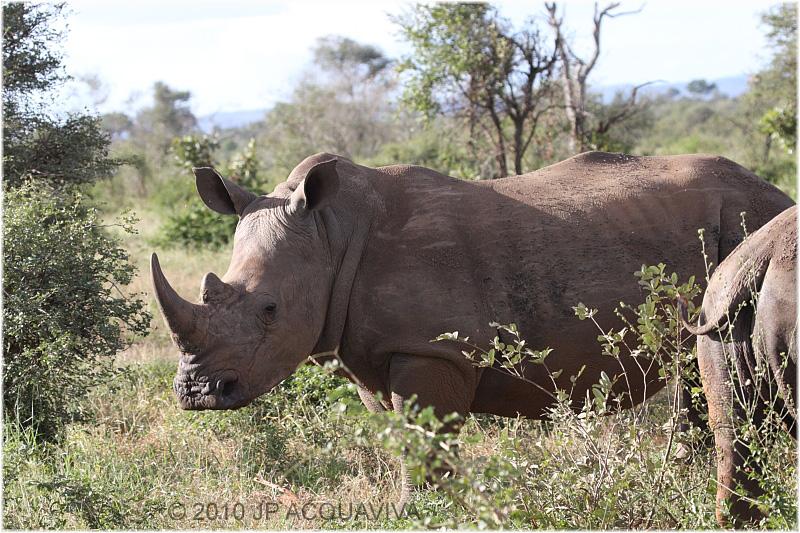 Rhinoceros blanc - white rhino 2.JPG