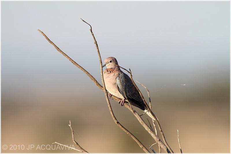 Tourterelle maillée - laughing dove.JPG