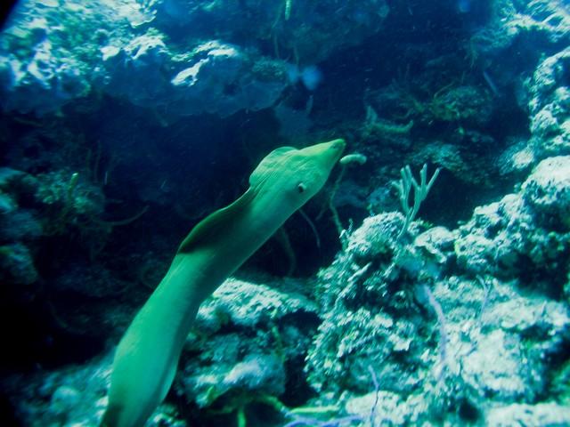 HUGE Moray eel swimming - not often seen, so of course the strobe battery was dead!!!