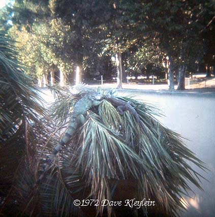 1972 - Iguanas at the Iguana Island inside the Crandon Park Zoo on Key Biscayne