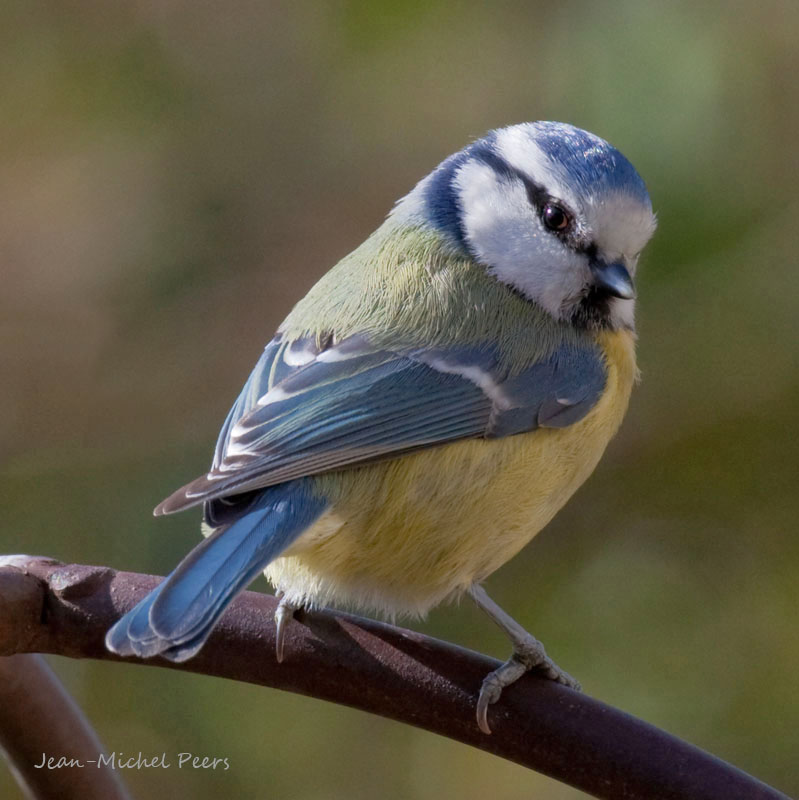 Cyanistes caeruleus - Mésange bleue - Eurasian Blue Tit