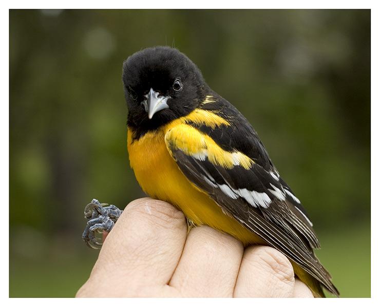 Baltimore Oriole ( male )