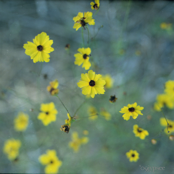 coreopsis spray