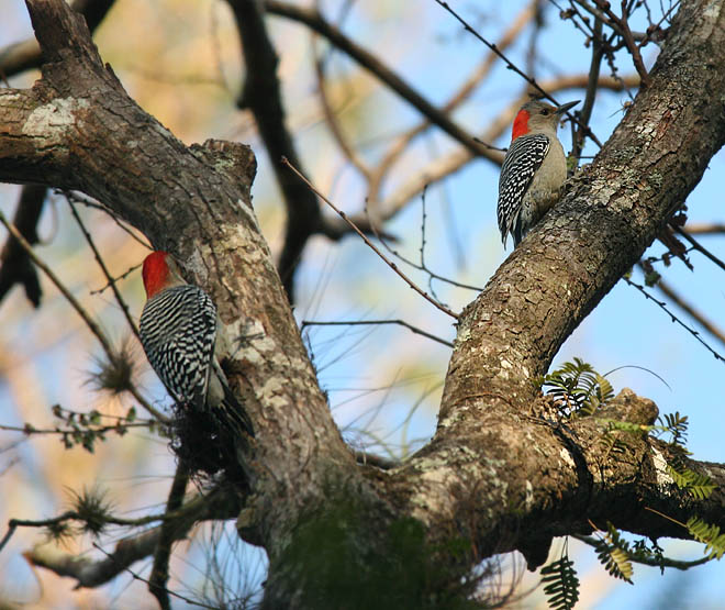 two redbellied woodpeckers