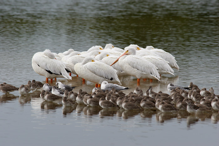 white pelicans and willets
