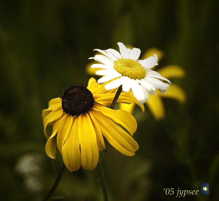 coneflower and daisy