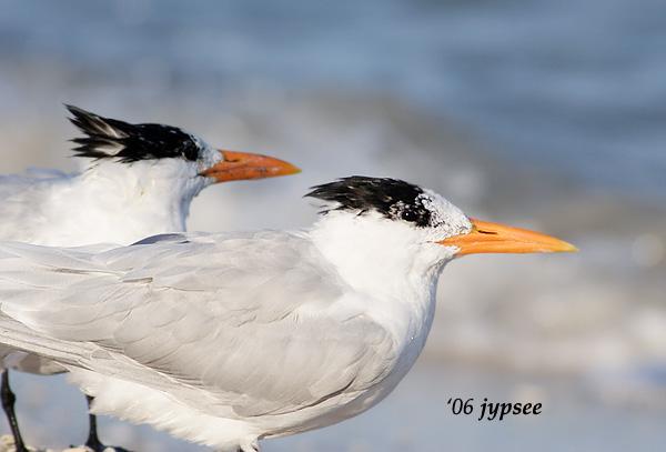 two royal terns