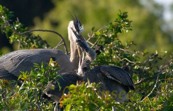 two great blue heron chicks (and one parent)