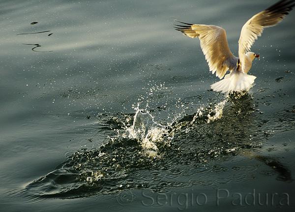 Gaviota mañanera / Morning Seagull