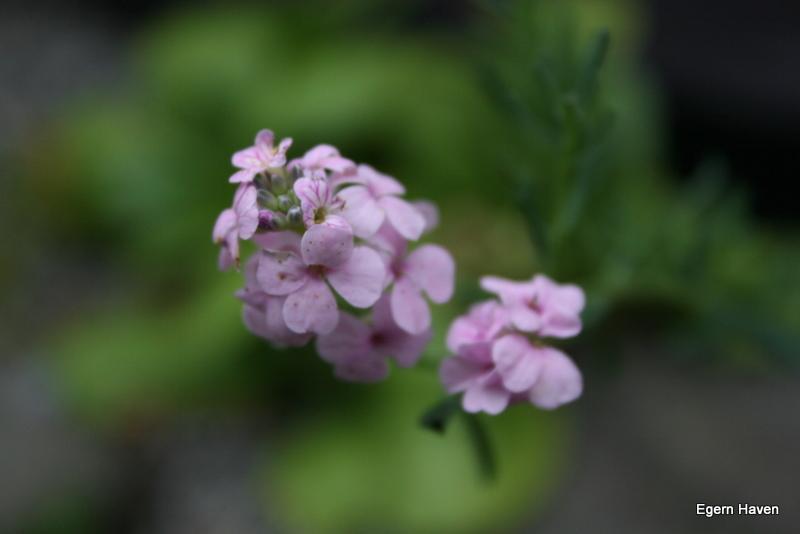 Aethione Warley Rose