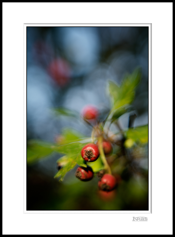 Hawthorn Berries 2
