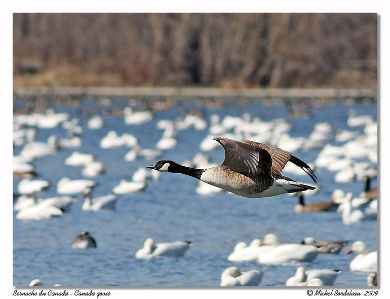 Bernache du Canada <br> Canada goose