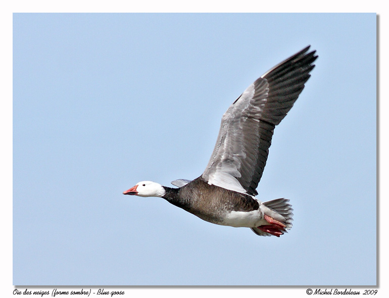 Oie des neiges <br> Snow goose