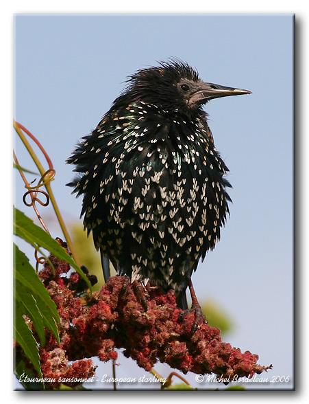 Étourneau sansonnet <br> European starling