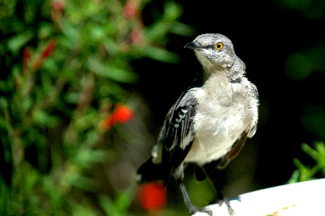 9-2005 Young Mockingbird.JPG