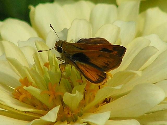 8-7-05 White Zinnia Butterfly.JPG