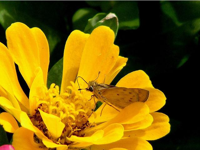 Yellow Zinnea and Skipper.jpg