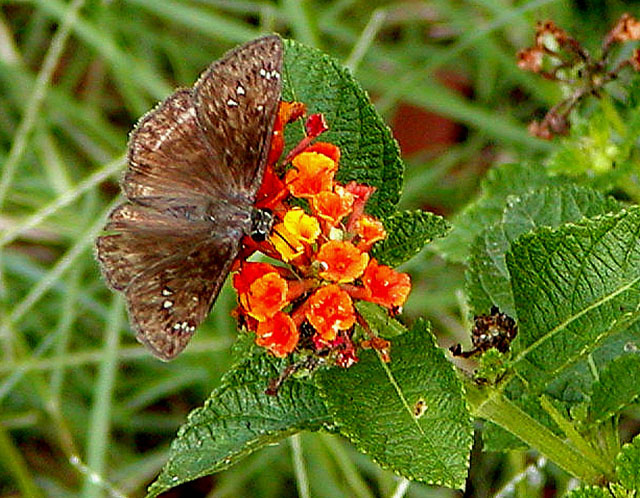 Brown Butterfly.jpg