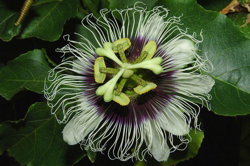 fleur de la passion - Passiflora caerulea