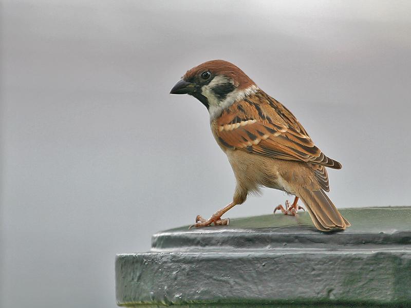 Ringmus; Tree Sparrow